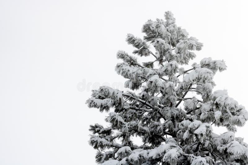 Choisissez le grand pin de coutre couvert dans la neige humide lourde images libres de droits