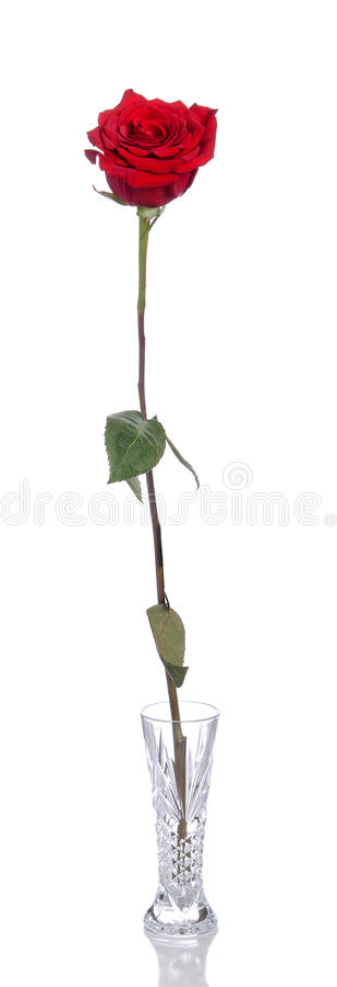 Choisissez Rose rouge photo libre de droits