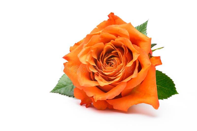 Choisissez rose sur le blanc images stock