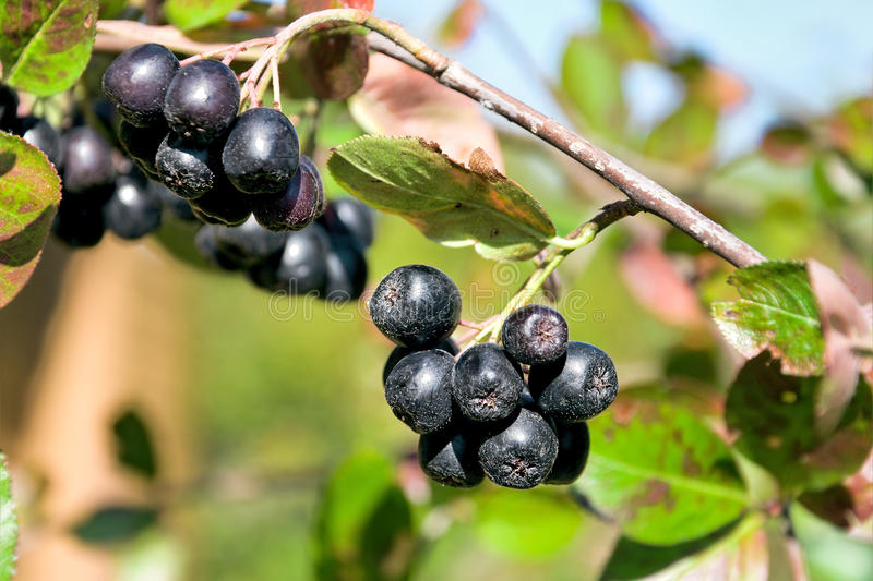 Choke-berry close up. horizontal photo. Ripe bunches of berries of black choke-berry on the branches close-up. horizontal photo stock photography