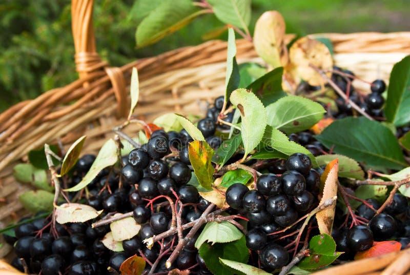 chokeberries ягод корзины aronia стоковая фотография rf