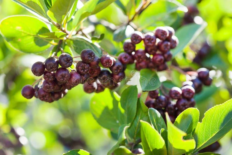 Chokeberry photos stock
