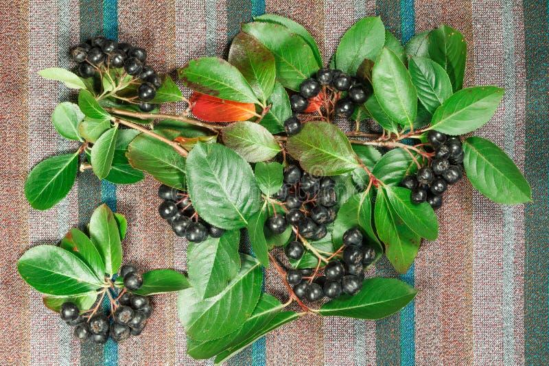 Chokeberry, Aronia Herbe pour l'usage dans la médecine parallèle, phytotherapy photographie stock