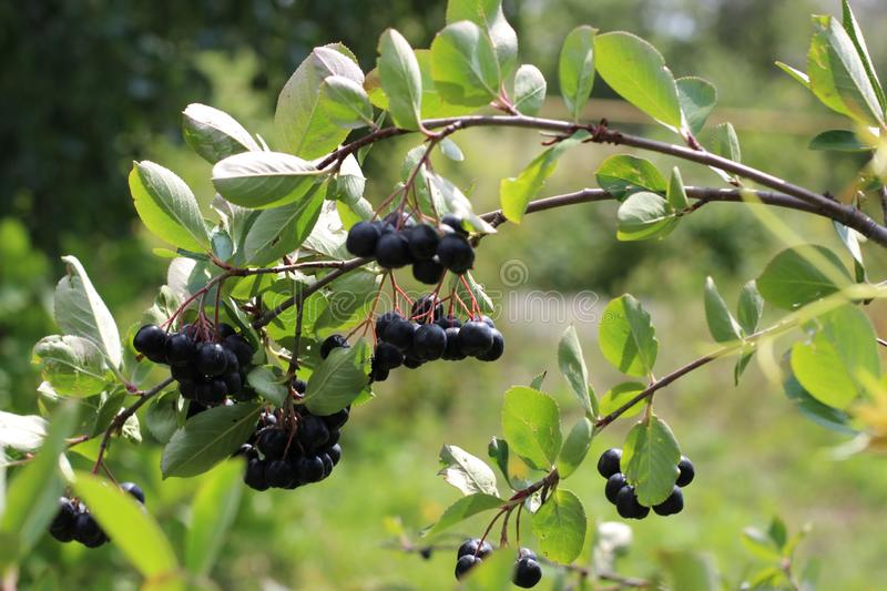 Chokeberry Bush branch with dark purple fruit with green fresh leaves on the forest bright summer autumn day lit by the rays of stock photo
