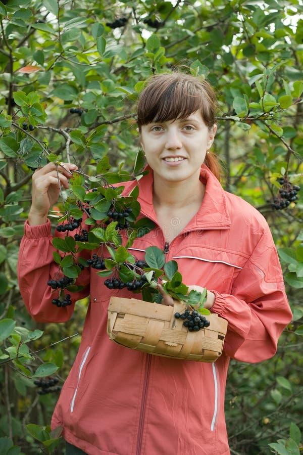 Chokeberry da colheita da mulher imagens de stock royalty free