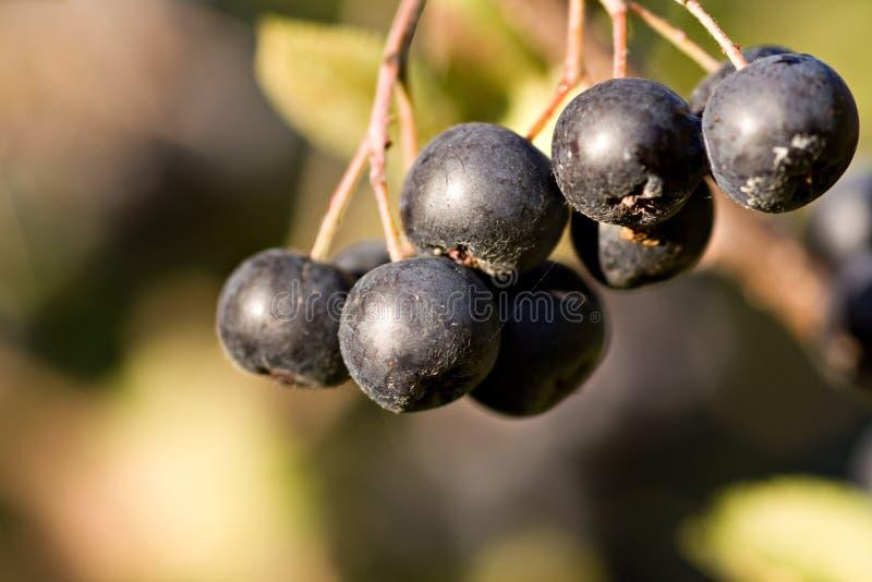 Chokeberry negro (melanocarpa de Aronia) fotografía de archivo libre de regalías