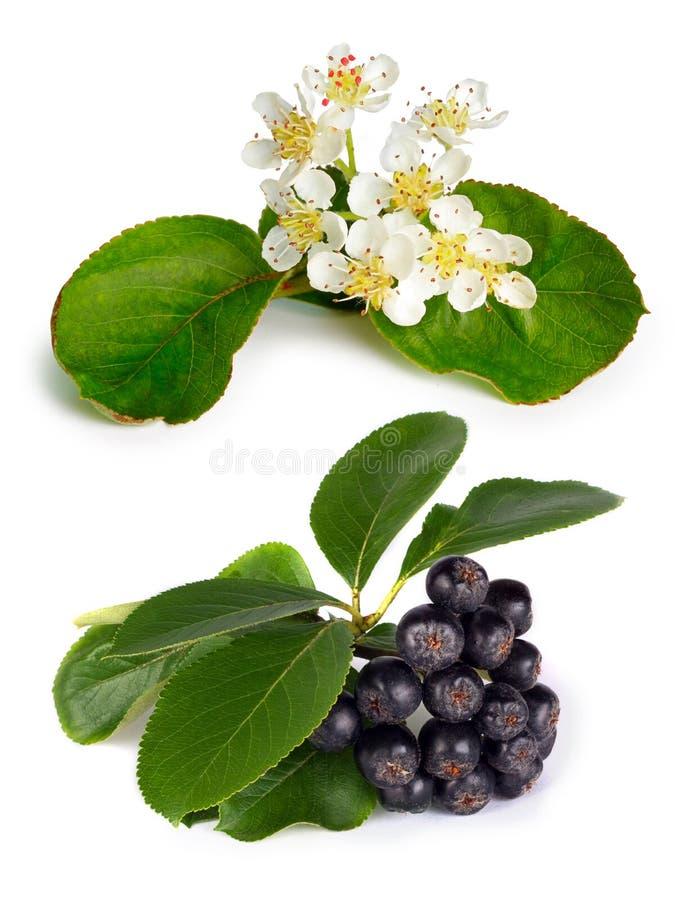 Chokeberry nero (melanocarpa di Aronia) fotografia stock