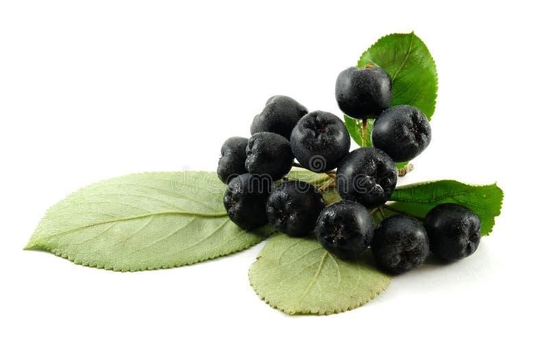 Chokeberry noir image libre de droits