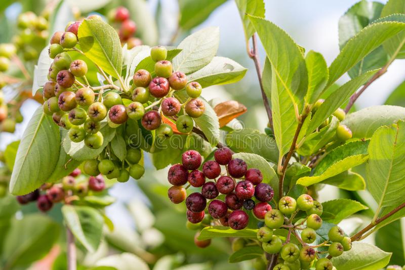 Chokeberry som mognar på trädfilial Aronia melanocarpa royaltyfria bilder