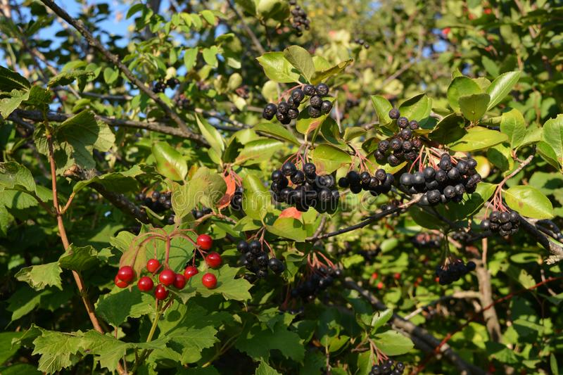 Chokeberry- und Viburnumbeeren im Sommergarten stockfoto
