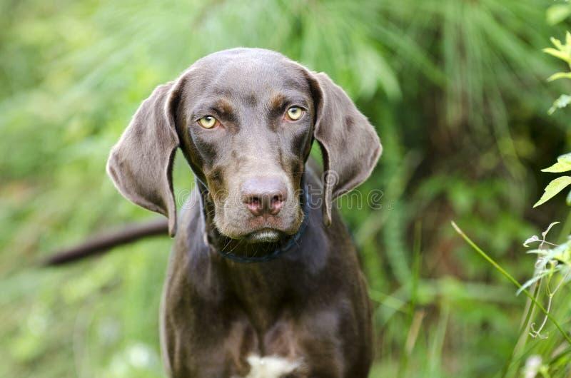 Choklad - hund för avel för brun Weimaraner pekare blandad arkivbilder