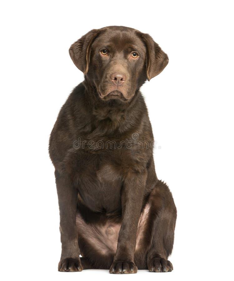 Choklad labrador, 7 gamla som månader sitter och vänder mot arkivbilder