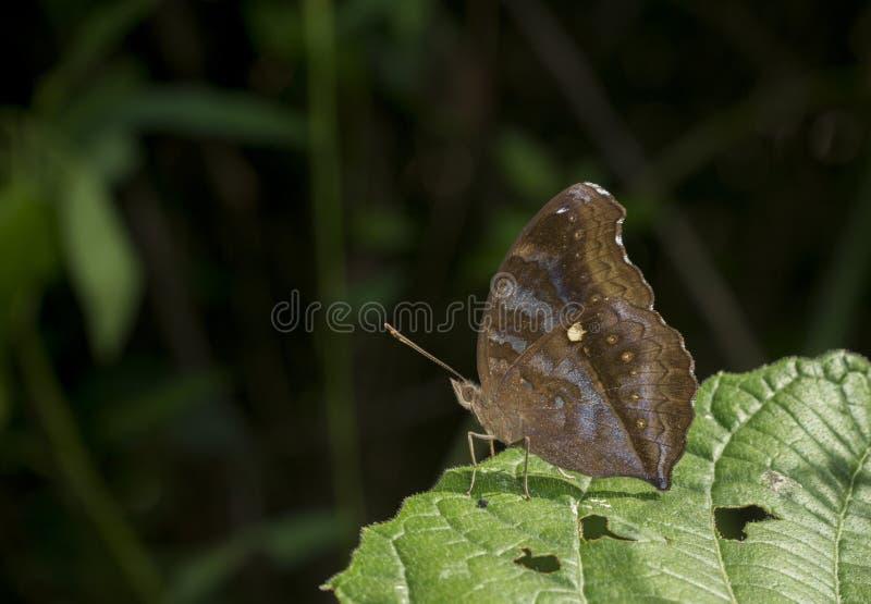 Choklad Pansy Butterfly på Garo kullar, Meghalaya, Indien royaltyfri foto