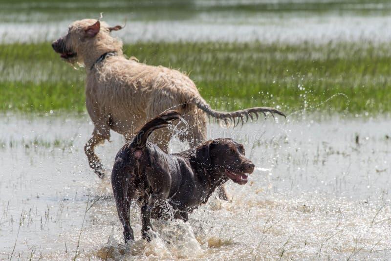 Chokladlabb och hundkapplöpning för irländsk varghund som spelar i stående flodvatten i Houston, TX arkivfoto