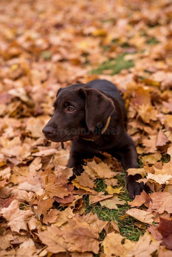 Chokladlabradorsammanträde i parkera Hösten lämnar arkivfoto
