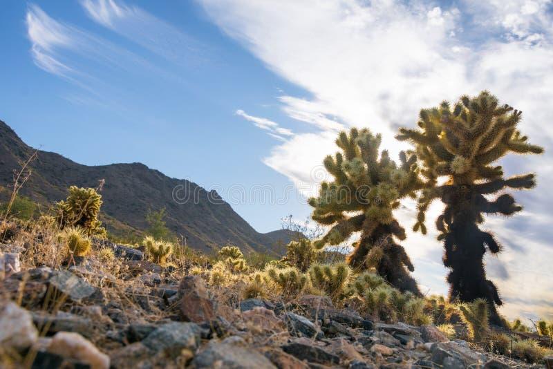 Cholla仙人掌在一个干燥和晴天在沙漠,西部美国亚利桑那菲尼斯 库存图片