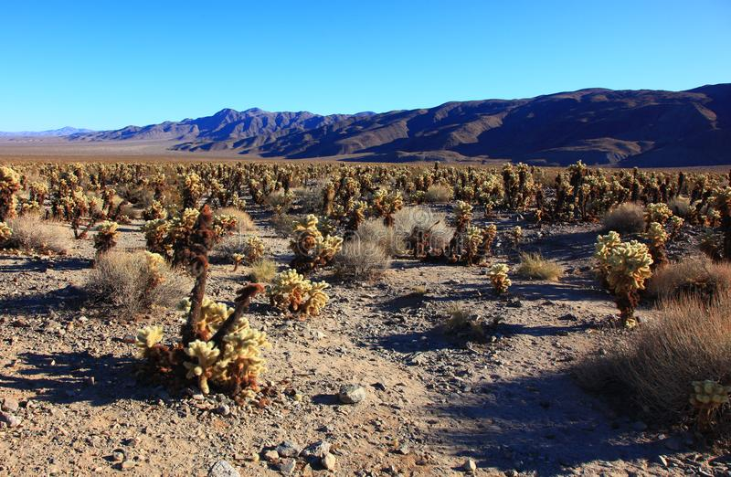 Cholla Cacti In The Ajo Mountains, Organ Pipe Cactus National Mo stock photography