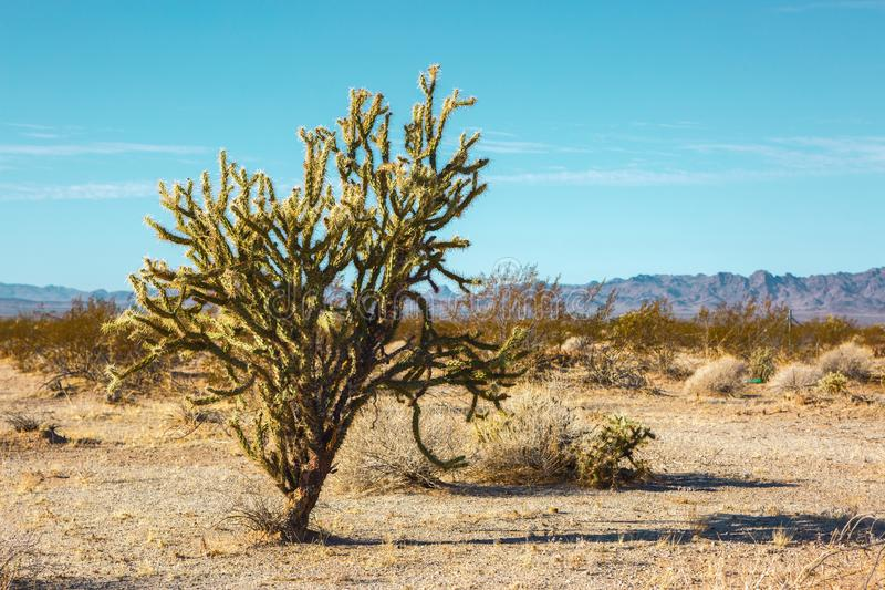 Cholla cactus in Mojave Desert , California, United States.  royalty free stock images