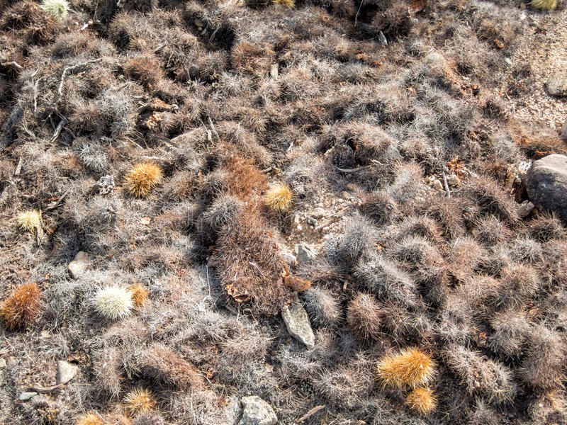 Cholla droppings. Piles of droppings from the Teddy Bear Cholla, Mojave Desert royalty free stock photo