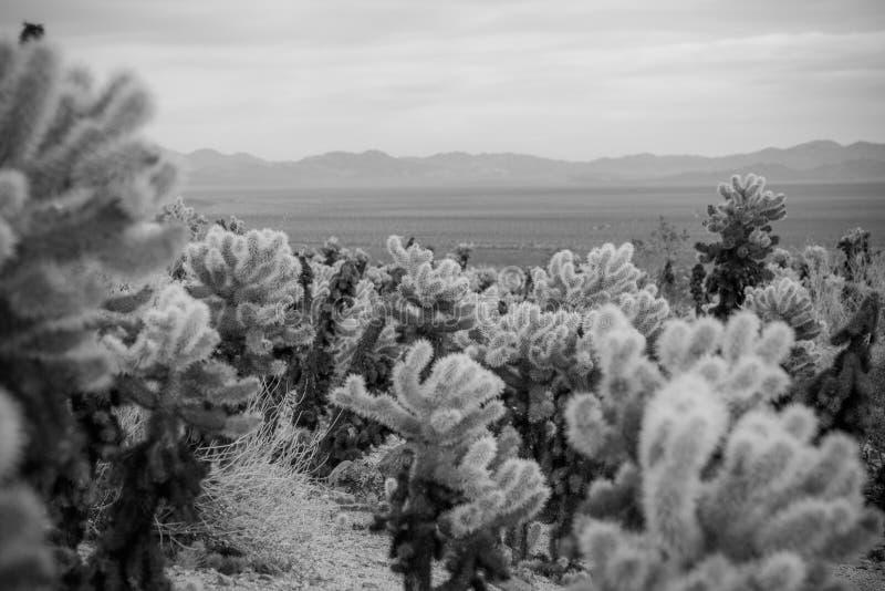 Cholla Kaktus stockfotografie