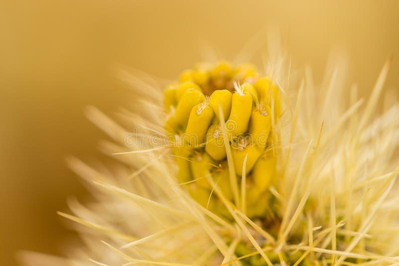 Cholla kaktus arkivbilder