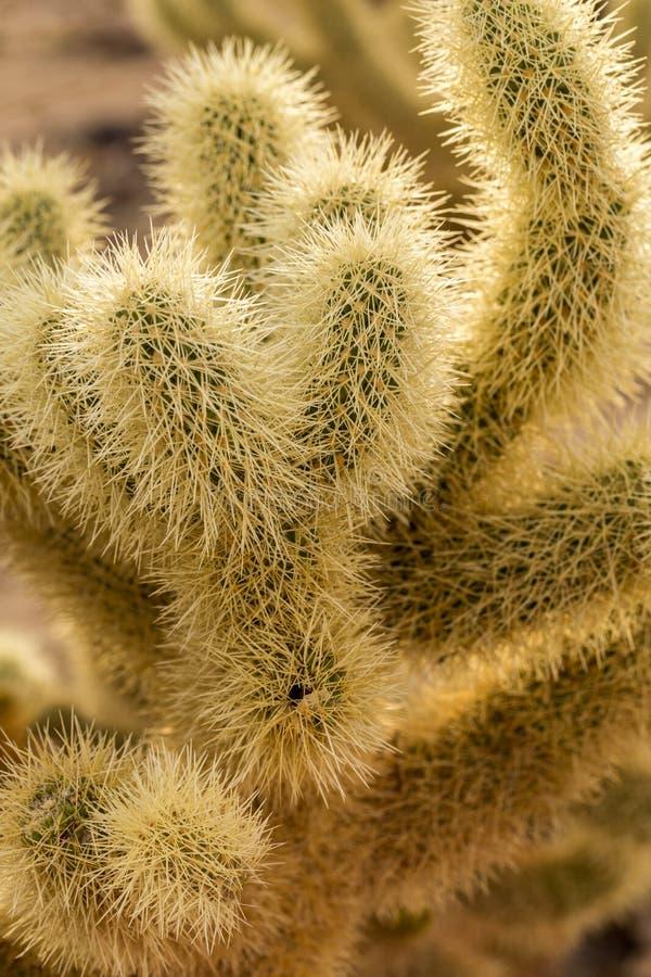 Cholla Kaktus obraz stock