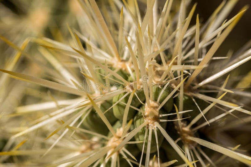 Cholla Kaktus lizenzfreies stockfoto