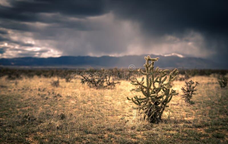 Cholla-Kaktus-Feld stockfotografie