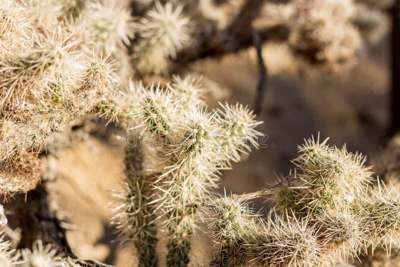 Cholla Kaktus-Garten lizenzfreies stockfoto