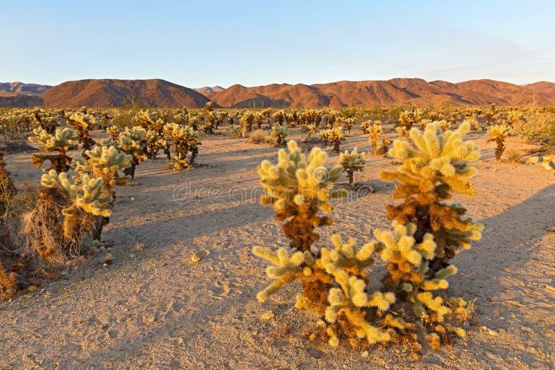 Cholla-Kaktus-Garten umgeben durch Gebirgskette bei Sonnenuntergang in Joshua Tree National Park, Kalifornien USA lizenzfreie stockbilder