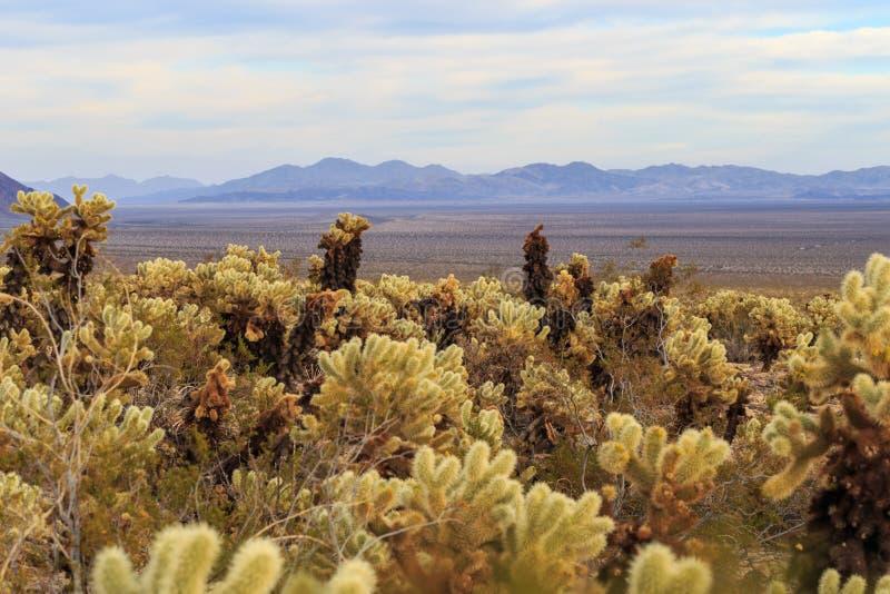 Cholla Kaktus und Mountain View stockfoto