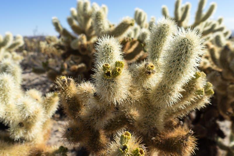 Cholla kaktus z owoc obrazy royalty free