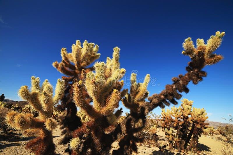 Cholla kaktusa ogród przy Joshua drzewa parkiem narodowym, Kalifornia fotografia stock
