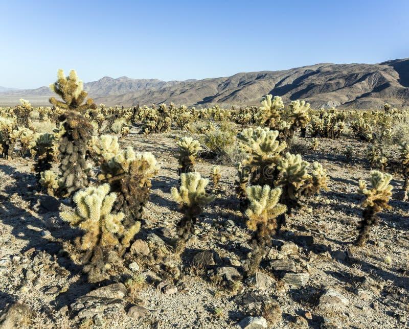 Cholla kaktusa ogród w Joshua drzewa parku narodowym fotografia stock
