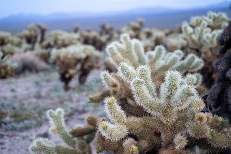 Cholla kaktusa ogród w Joshua drzewa parku narodowym podczas wiosna zmierzchu Cholla kaktus małych kwiatów kwiaty obraz stock