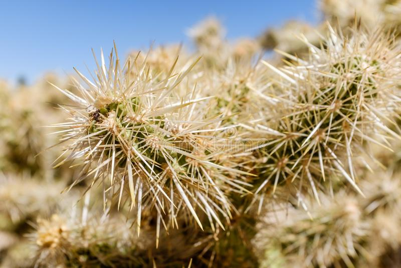 Cholla kaktusa ogródu ślad w Arizona zdjęcie royalty free
