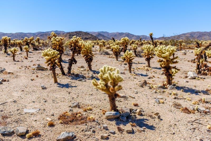 Cholla kaktusa ogródu ślad w Arizona zdjęcia stock
