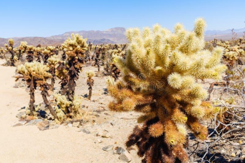Cholla kaktusa ogródu ślad w Arizona obrazy royalty free