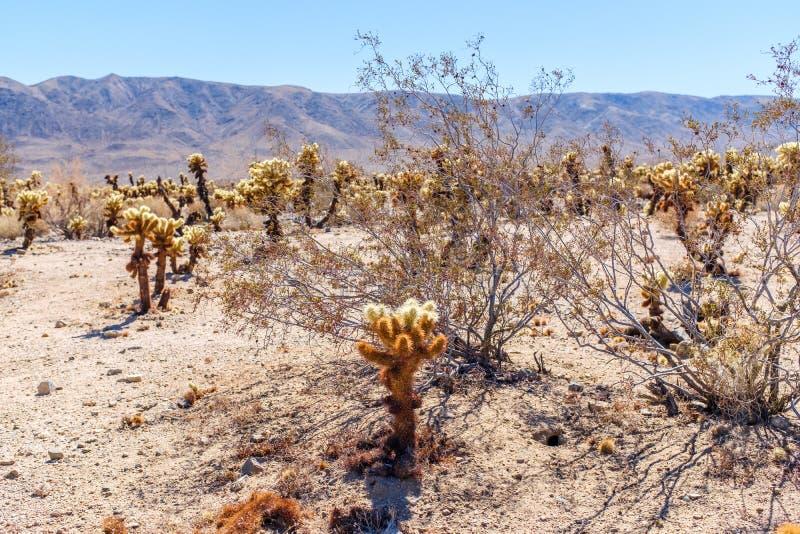 Cholla kaktusa ogródu ślad w Arizona zdjęcie stock