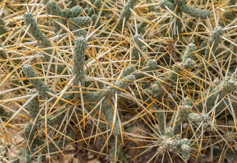 Cholla kaktusa zakończenie Up obrazy royalty free