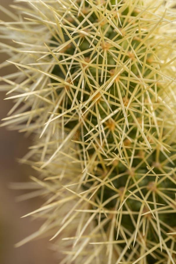 Cholla kaktusCloseup arkivfoton