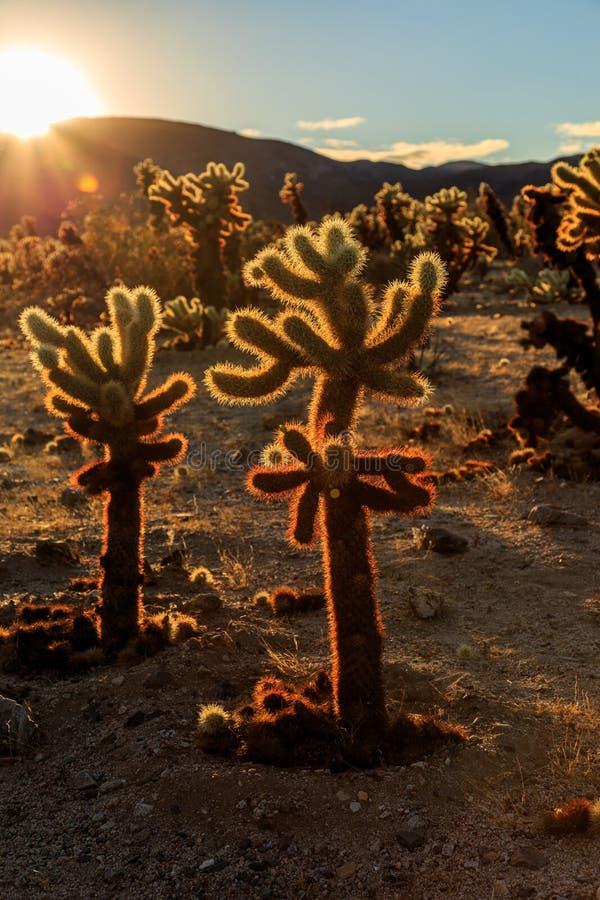Cholla kaktusträdgård arkivfoto