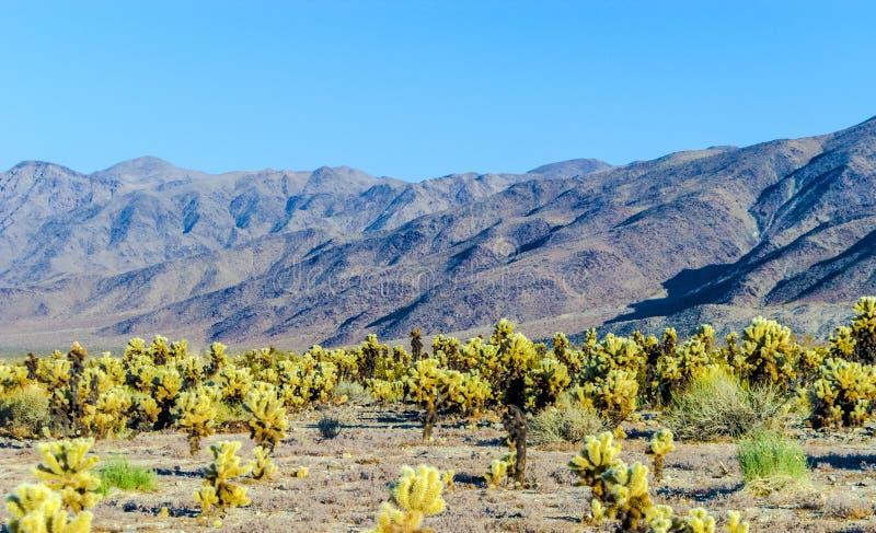 Cholla kaktusträdgård i Joshua Tree National Park royaltyfria foton