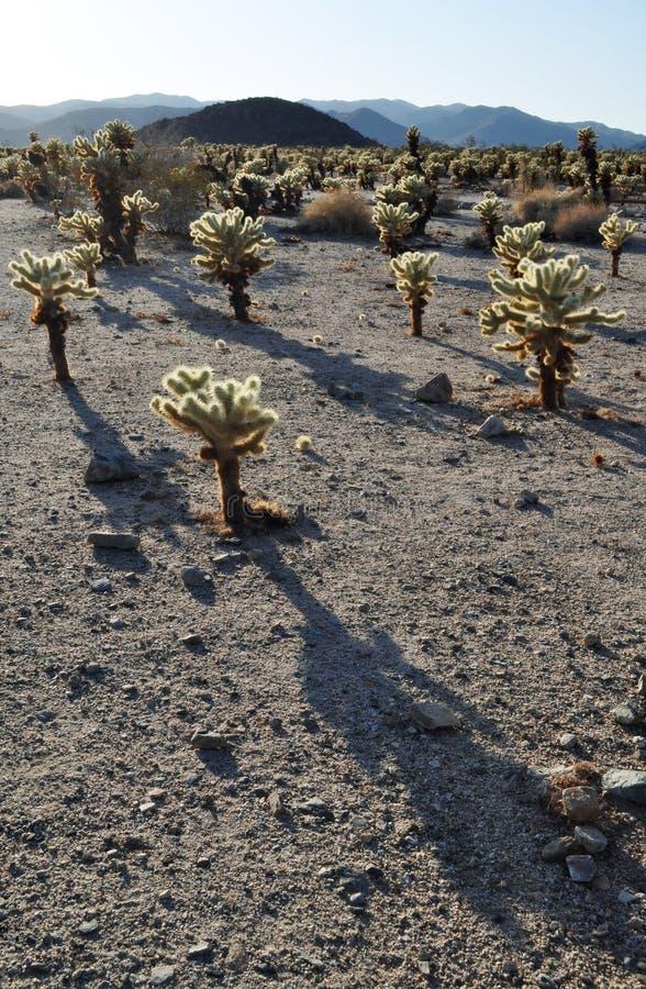 Cholla kaktusträdgård, Joshua Tree National Park arkivfoton