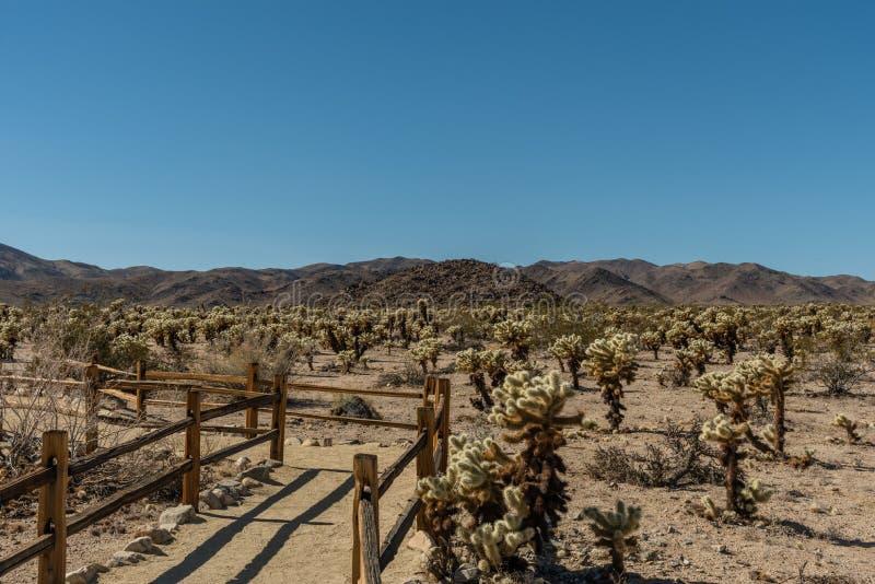 Cholla kaktusträdgård på Joshua Tree National Park, sydliga Kalifornien royaltyfri bild