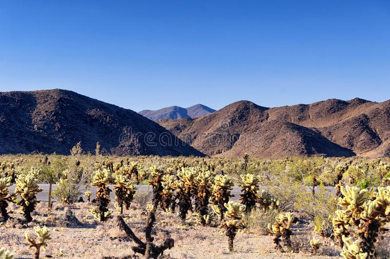 Cholla kaktusy w łaciatym basenie obrazy stock