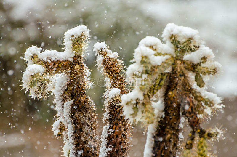 Cholla in the Snow stock image