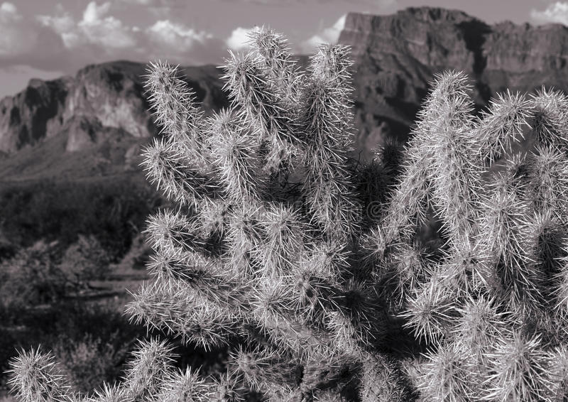 Cholla At Sunset in Arizona. Cholla shining in the setting sun at the Superstion Mountians near Phoenix Arizona in black and white stock photo