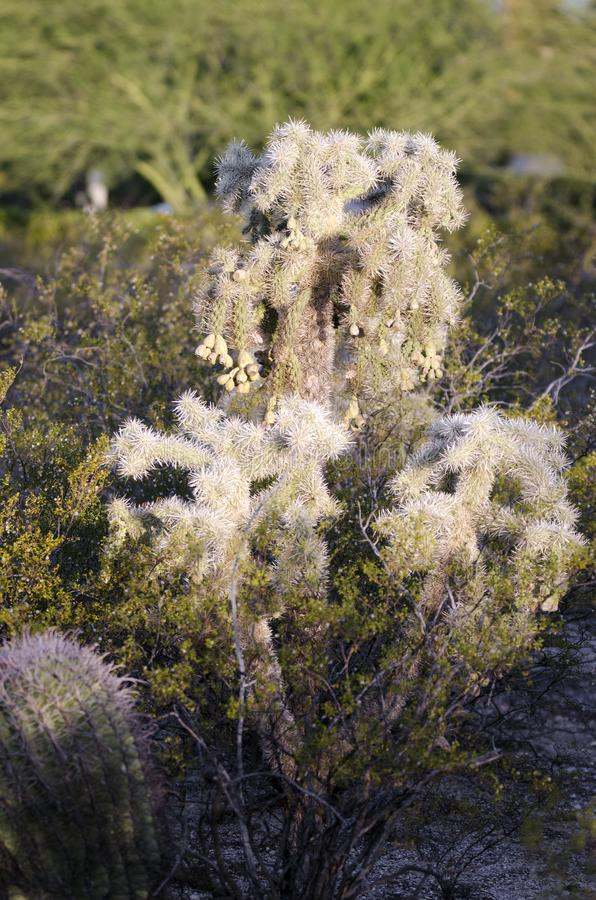 Cholla Teddy bear jumping cactus, Tucson Arizona Sonora Desert. Cholla Teddybear jumping cactus, Cylindropuntia bigelovii, in the Opuntia cactus family with stock images