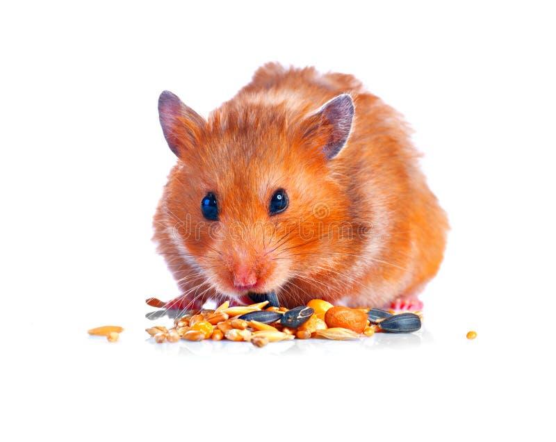 chomik Jeść małego ślicznego zwierzęcia domowego zdjęcie royalty free